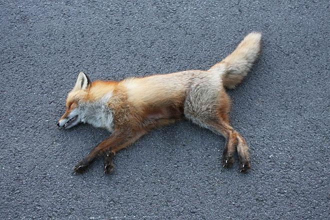 dead_fox