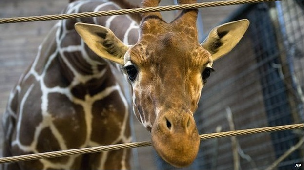 How can you kill an innocent giraffe with a face like this?